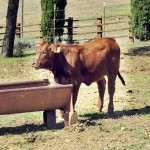 Beefmaster3