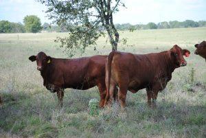 Texas A&M University Beefmaster heifers