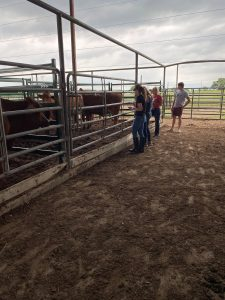 TAMU students are gaining real-world learning experiences with the Beefmaster herd.