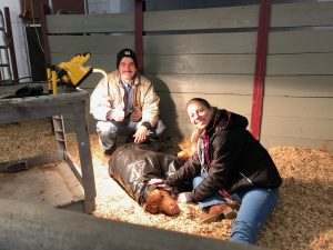 TAMU Graduate students work to successfully save a calf during the winter storm.